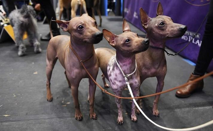 westminster-dog-show